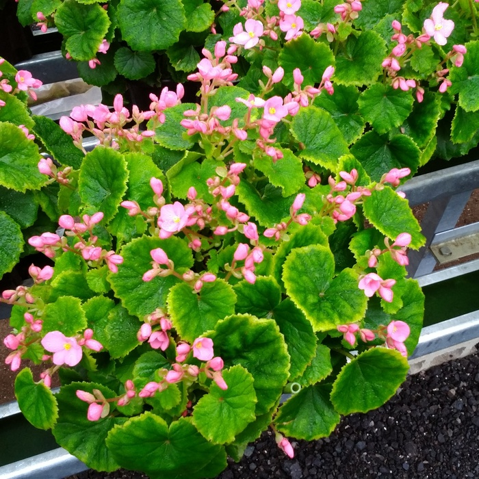多数の色鮮やかな花を咲かせてくれるベゴニア ラブミー 人気ブレゼント ふるさと納税 鉢花 5号鉢×2鉢 H069106 2020春夏新作 ベゴニア