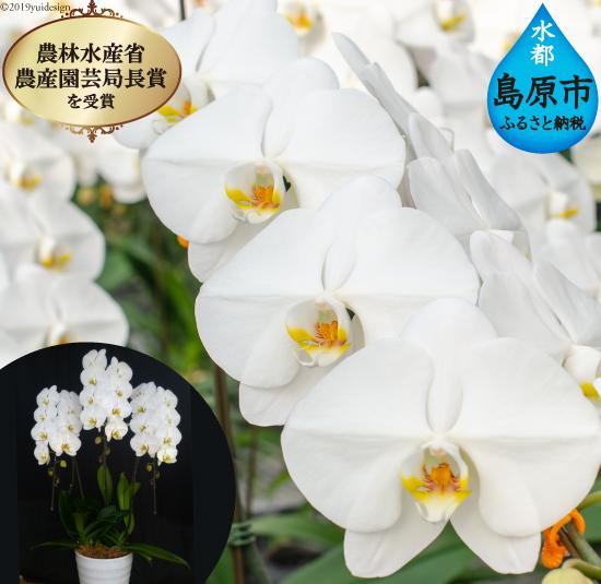 """【ふるさと納税】島原の""""蘭"""" 3本立 8号鉢 36輪"""