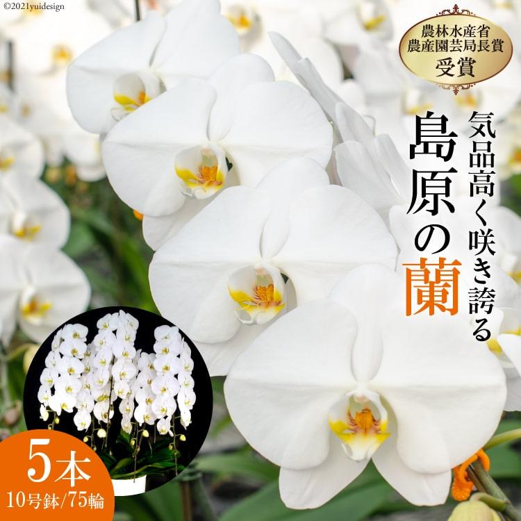"""【ふるさと納税】島原の""""蘭""""5本立10号鉢75輪"""