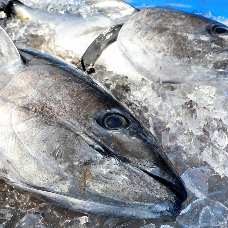 ふるさと納税 再再販 G-010 対馬特産 無料サンプルOK 対海の養殖本マグロ 1尾丸ごとお届け