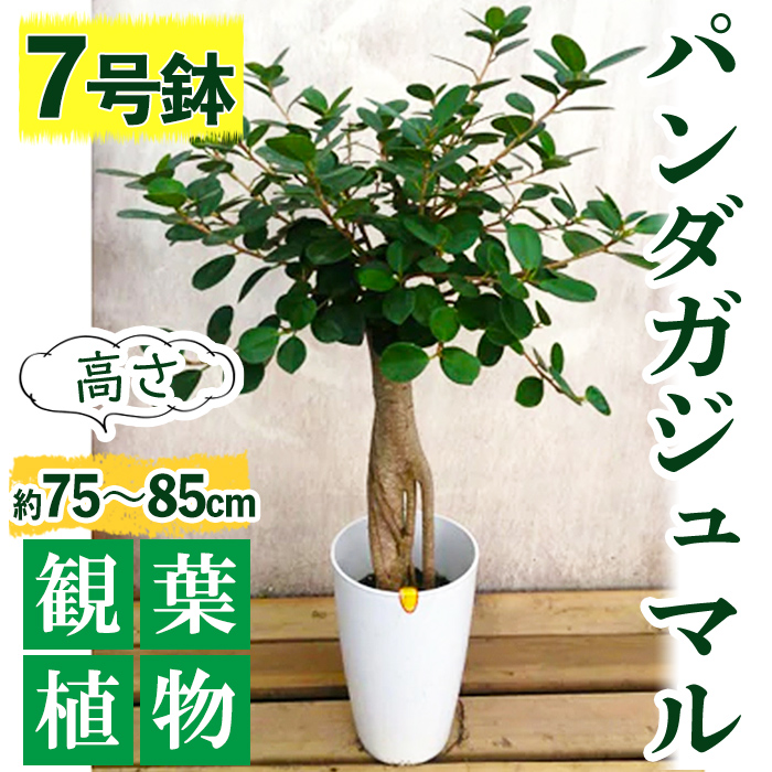 【ふるさと納税】パンダガジュマル 7号サイズ【前園植物園】