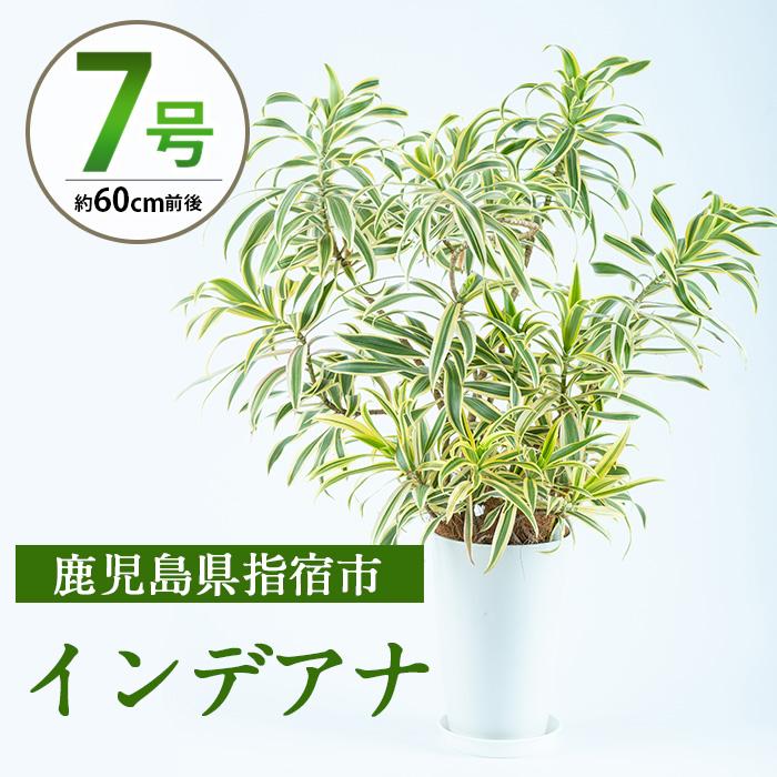 【ふるさと納税】インデアナ7号サイズ(60cm前後)南国指宿で育てられた観葉植物をぜひご家庭で!【Green Farm M】