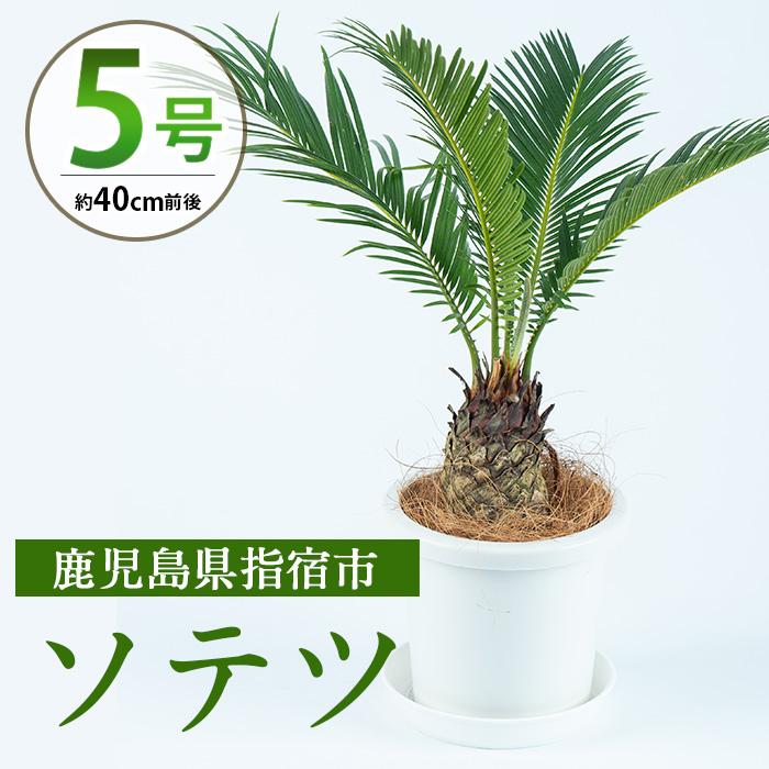 【ふるさと納税】ソテツ5号サイズ(40cm前後)南国指宿で育てられた観葉植物をぜひご家庭で!【Green Farm M】