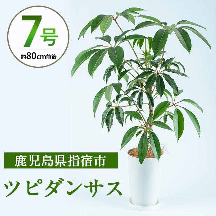 【ふるさと納税】ツピダンサス7号サイズ(80cm前後)南国指宿で育てられた観葉植物をぜひご家庭で!【Green Farm M】