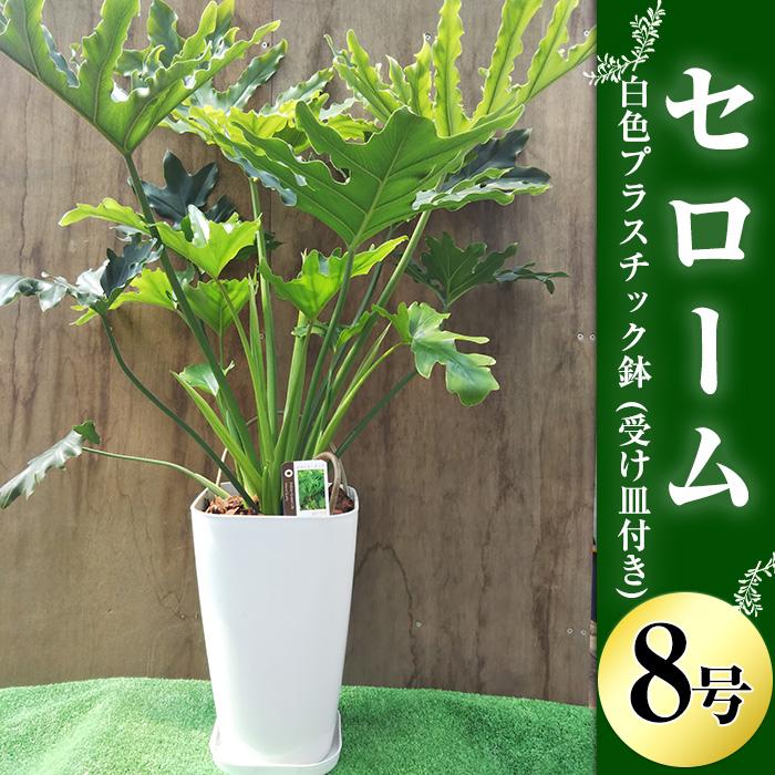 【ふるさと納税】観葉植物「セローム8号サイズ」白色プラスチック鉢(受け皿付き)【緑の中道】