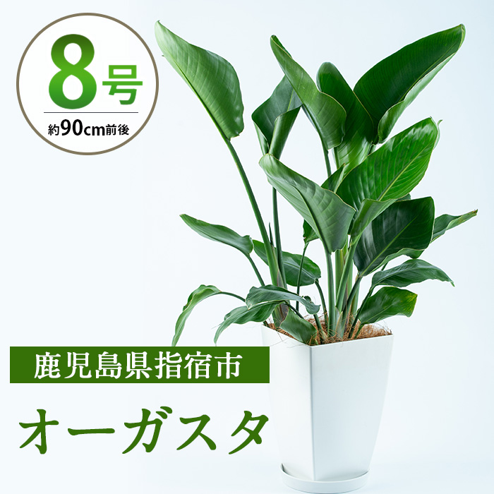 【ふるさと納税】オーガスタ8号サイズ(90cm前後)南国指宿で育てられた観葉植物をぜひご家庭で!【Green Farm M】