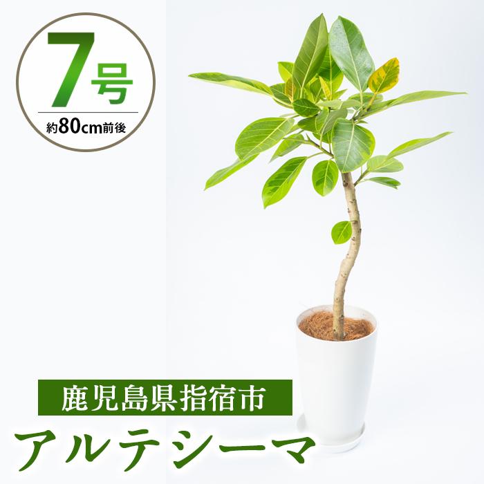 観葉植物で癒しの空間を ふるさと納税 指宿市 特産品 アルテシーマ 7号サイズ 直輸入品激安 Farm 80cm前後 Green M 新作 人気 南国指宿で育てられた観葉植物をぜひご家庭で