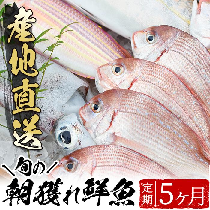 ふるさと納税 旬の朝獲れ鮮魚コース 5ヵ月定期便 その日獲れたての鮮魚や活魚 漁協だからできる産地直送の定期便 えびす市場 低価,格安
