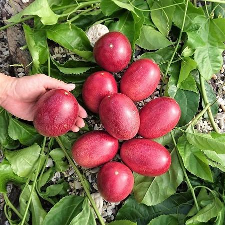 【ふるさと納税】《鹿児島県奄美大島産》《農家直送》かさりパッションフルーツ「奄美のジャンボウ」贈答用9個入り(1.3kg以上)