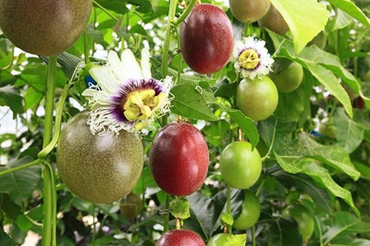 【ふるさと納税】パッションフルーツ(バラ詰め2キロ)武富農園