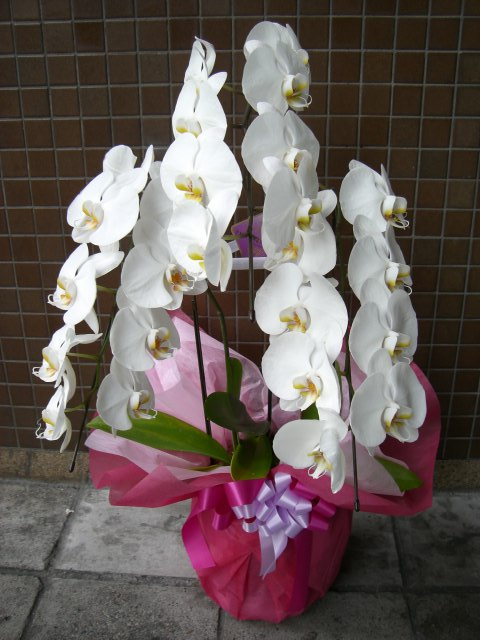 胡蝶蘭(白花、3本立ち)