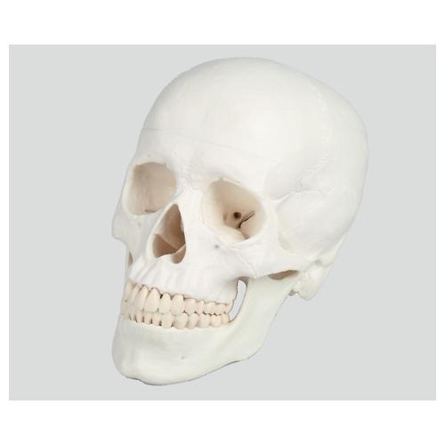 アズワン 頭蓋3分解モデル 180×190×120 4500 1個 [8-8312-01]