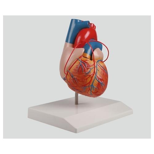 アズワン バイパス付心臓2分解モデル 80×80×140 G205 1個 [8-8316-01]