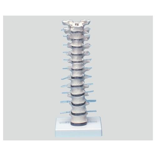 アズワン 胸椎モデル 385×150×130 4060 1個 [8-8421-01]