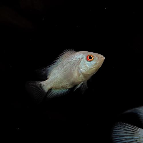 (熱帯魚 生体)ラピスラズリ・フラワーホーン (約4-5cm)(1匹)【水槽/熱帯魚/観賞魚/飼育】【生体】【通販/販売】【アクアリウム/あくありうむ】
