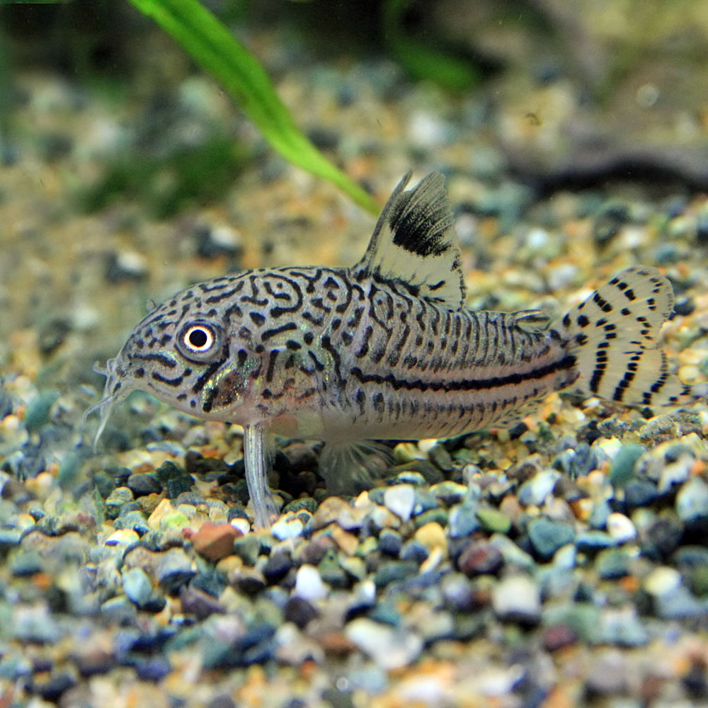 (Neos sale) (the tropical fish living body) Corydoras Julie (approximately  2-3cm) (three)