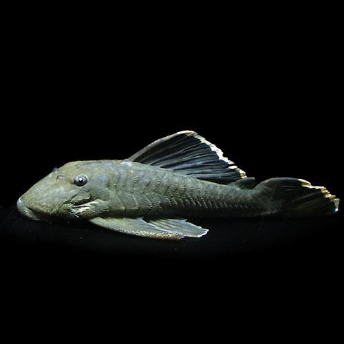 (熱帯魚 生体)オレンジフィンブラックプレコ(約22cm)(1匹)【水槽/熱帯魚/観賞魚/飼育】【生体】【通販/販売】【アクアリウム/あくありうむ】