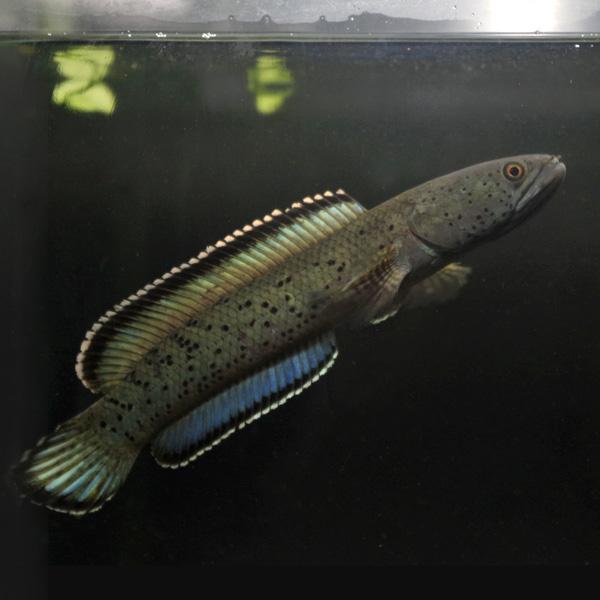 (熱帯魚 生体)美個体セレクト メガラヤレオパード スネークヘッド(約20cm)インド産ワイルド個体リウム/あくありうむ】
