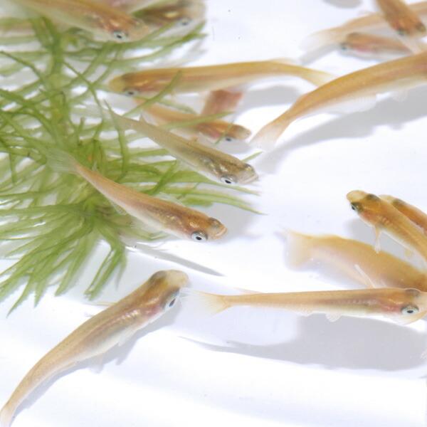 (日淡)ヒメダカ(約2cm)(1000匹)【水槽/熱帯魚/観賞魚/飼育】【生体】【通販/販売】【アクアリウム/あくありうむ】