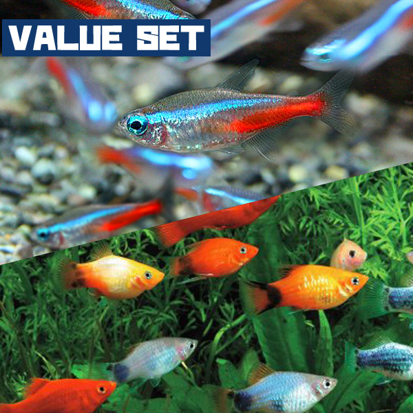 Fish Neos Tropical Fish Neon Tetra Sm About 2 Cm 17 Fish
