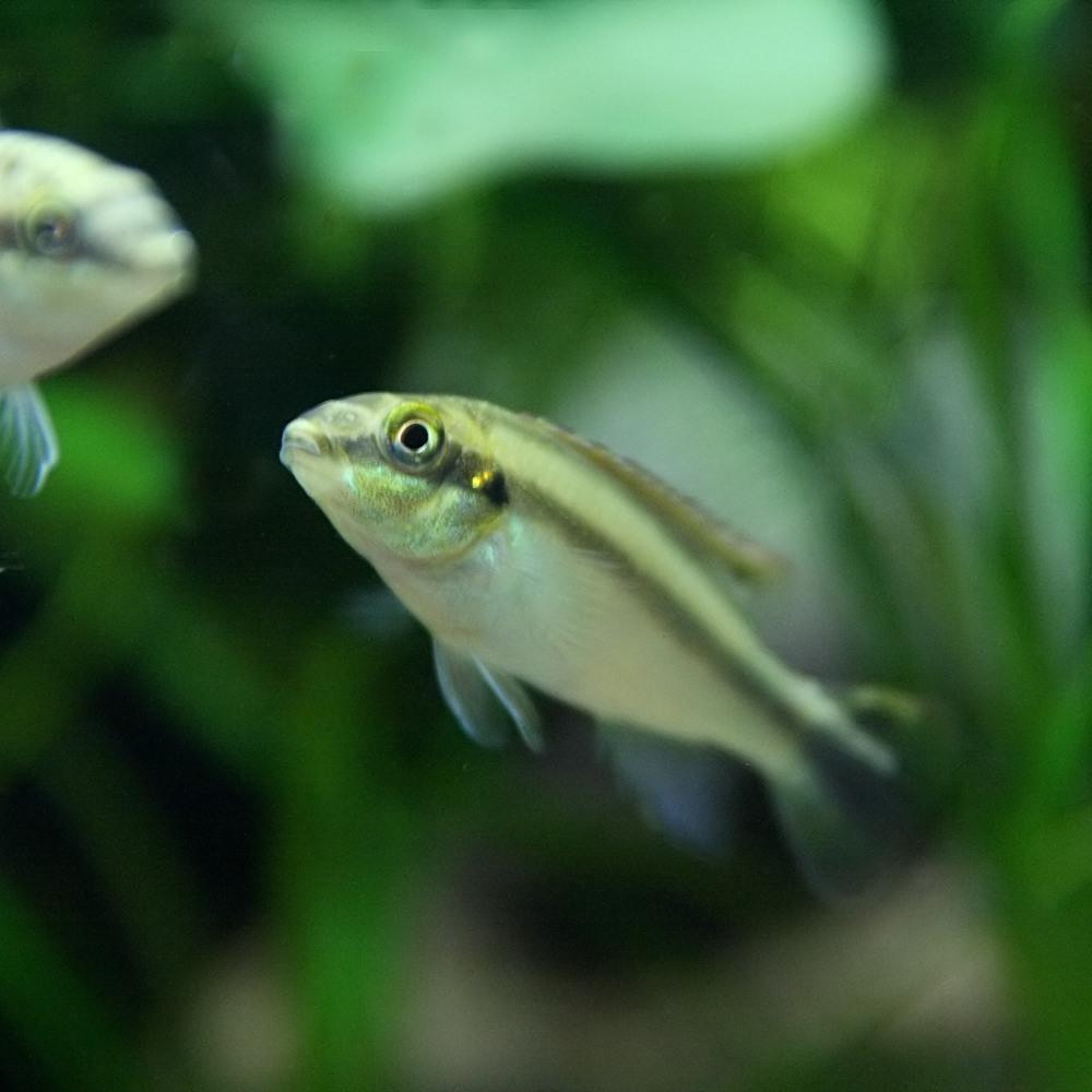 (熱帯魚 生体)ペルビカクロミスプルケール(ペルマト) (3-4cm)(5匹)【水槽/熱帯魚/観賞魚/飼育】【生体】【通販/販売】【アクアリウム/あくありうむ】