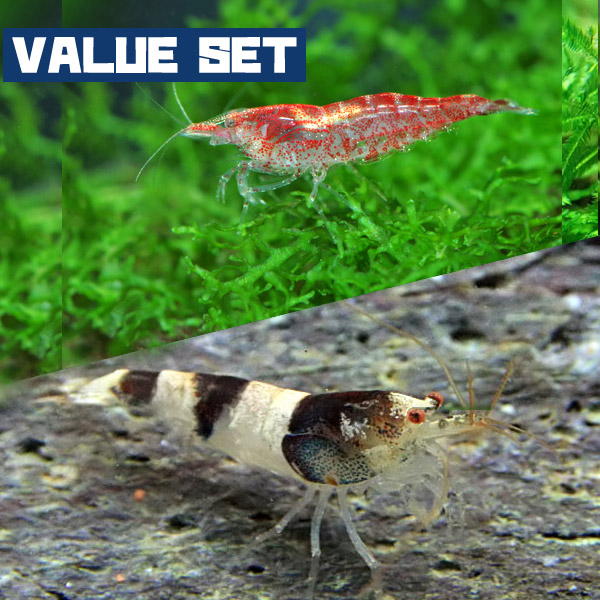 豊富な400種以上 5万匹以上の生体が揃っています 人気シュリンプセット ネオス エビ バリューセット レッドチェリーシュリンプ 約1.5cm 3匹 + ニュービーシュリンプ 飼育 水槽 10%OFF 捧呈 生体 アクアリウム 観賞魚 4匹 販売 通販 あくありうむ 熱帯魚