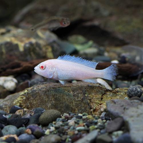 豊富な400種以上 5万匹以上の生体が揃っています スノーホワイトシクリッド 約2-4cm 在庫限り ネオス 熱帯魚 生体 約2-4cm 飼育 観賞魚 通販 アクアリウム 4匹 至上 水槽 あくありうむ 販売