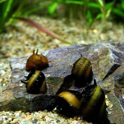 (貝)カラーサザエ石巻貝(約1cm)(6匹)【水槽/熱帯魚/観賞魚/飼育】【生体】【通販/販売】【アクアリウム/あくありうむ】