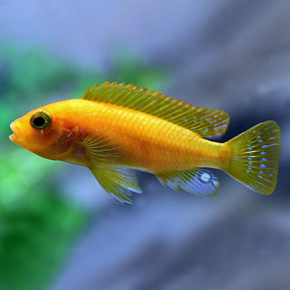 豊富な400種以上 5万匹以上の生体が揃っています レッドゼブラシクリッド 約2-3cm 5匹 ネオス 熱帯魚 生体 約2-3cm アクアリウム 在庫限り 観賞魚 半額 飼育 あくありうむ 5匹 販売 通販 水槽