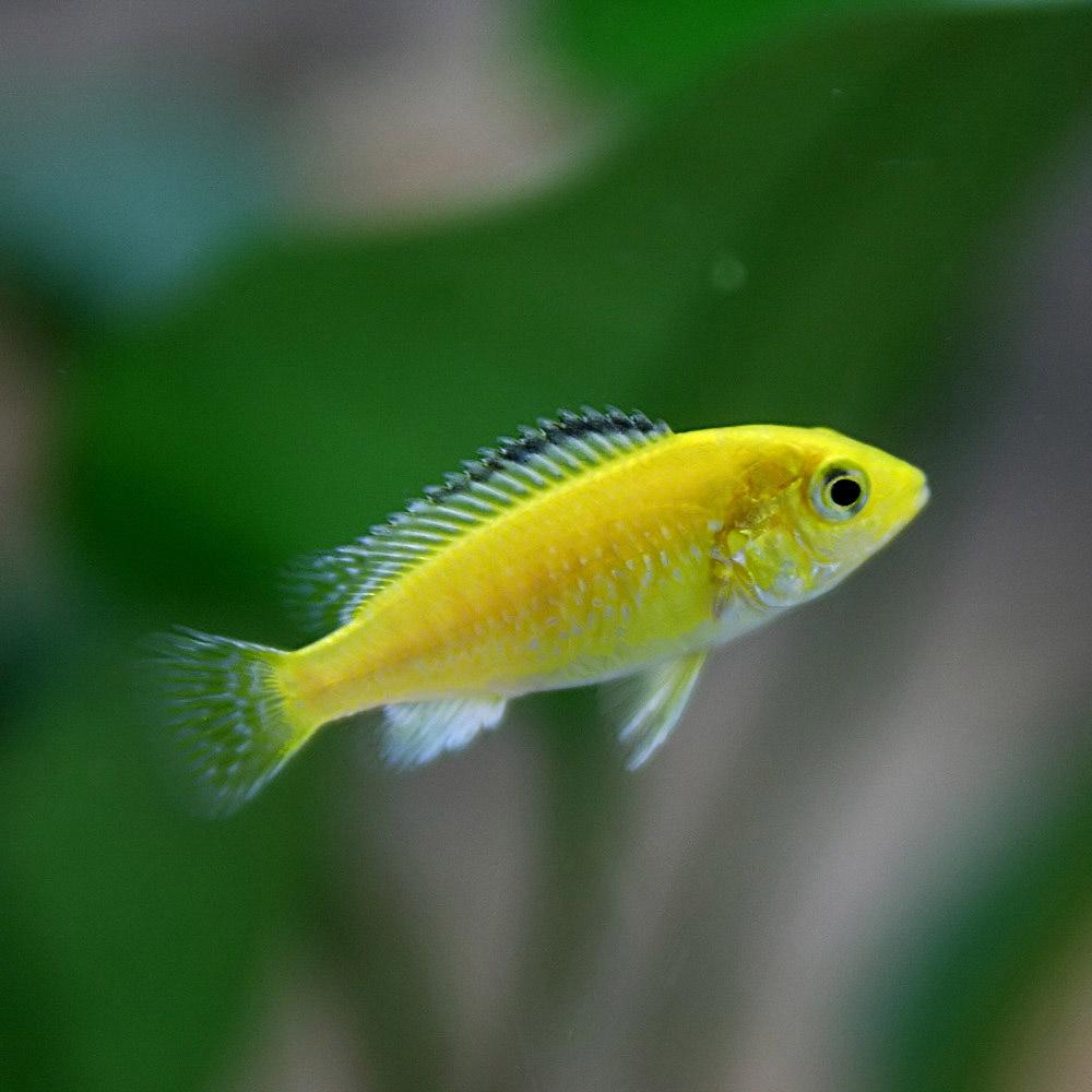 豊富な400種以上 5万匹以上の生体が揃っています ラビドクロミス 手数料無料 カエルレウス 約2-3cm ネオス 黄色いボディがチャームポイント 熱帯魚 生体 通販 卓出 アクアリウム 4匹 飼育 あくありうむ 販売 約2-3cm 水槽 観賞魚