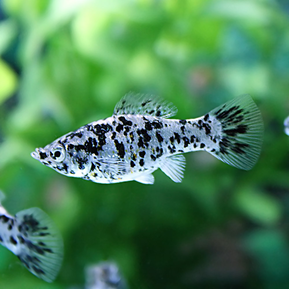 (Neos sale) (the tropical fish living body) Dalmatian Morley (approximately  4cm) (four)