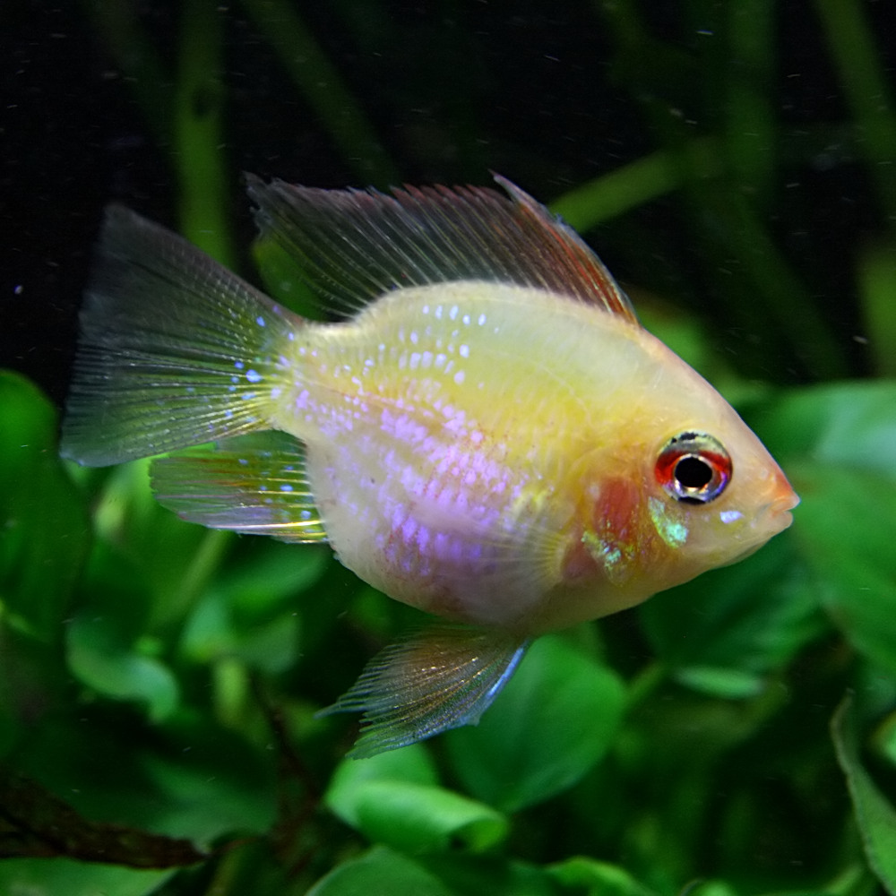 (スプリングセール)(熱帯魚 生体)ゴールデンバルーンラミレジィ(約2.5-3cm)(1匹)【水槽/熱帯魚/観賞魚/飼育】【生体】【通販/販売】【アクアリウム/あくありうむ】