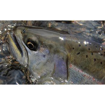 大和银子水道73ML主流、沼泽地大型鳟鱼特别