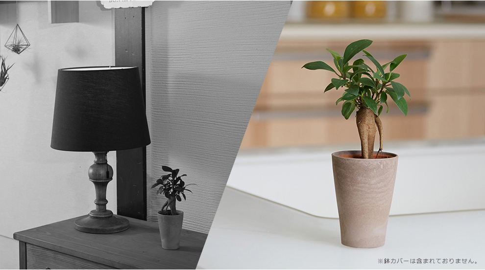 ミニ 観葉植物 ガジュマル 2号 インテリア グリーン 小さい おしゃれ 卓上 棚 台 室内 苗 風水 沖縄 記念日 ギフト