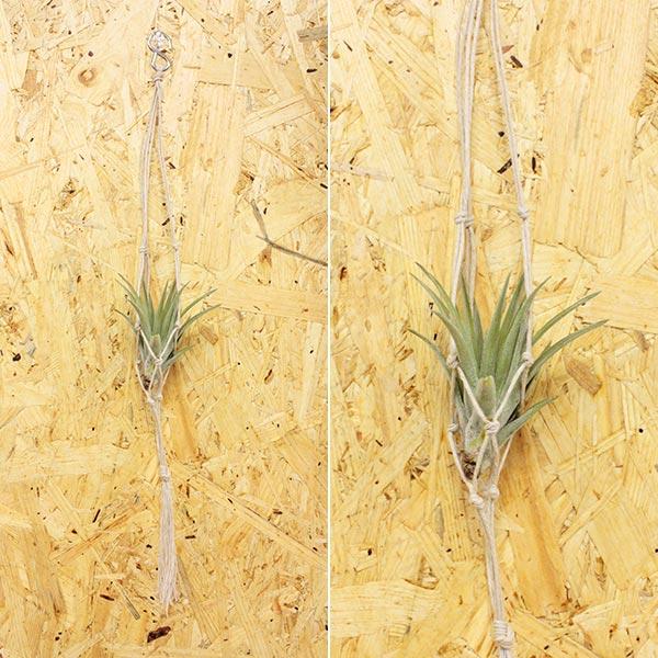 丈夫 で 育てやすい 土のいらない 観葉植物 エアプランツ 用の 吊り下げ ハンガー です 期間限定お試し価格 クーポンあります 送料無料 ハンモック ヘンプ ギフト 植物 インテリア Sサイズ ラッピング チランジア アレンジメント プレゼント クリスタル 飾り ボタニカル SALE開催中 エアープランツ プレーン
