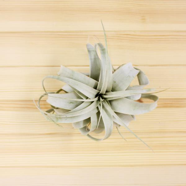 シルバーリーフが美しいエアプランツの王様 キセログラフィカの取扱量日本一の農場で厳選されたものをお届けします スーパーSALE限定クーポンポイントUP エアプランツ キセログラフィカ XS エアープランツ ティランジア チランジア インテリア 評判 グリーン 吊り下げ おしゃれ ハンギング 植物 18%OFF 飾り ギフト ディスプレイ 花 人気 アレンジメント