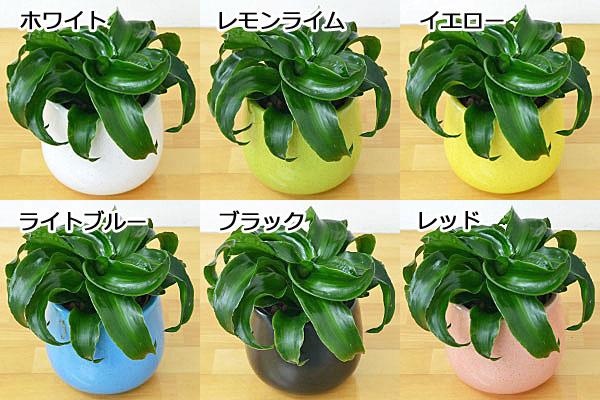 ドラセナ・コンパクタ・トルネード 陶器鉢付き ハイドロカルチャー