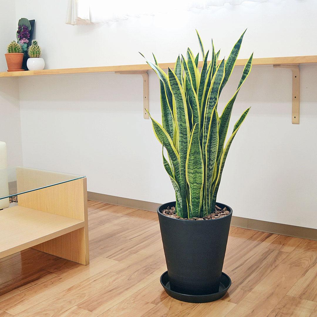 大型のサンスベリア ローレンティ おしゃれな観葉植物 観葉植物 サンスベリア サンセベリア 大型 購入 お祝い 送料無料 10号ブラックセラート鉢植え 新発売 おしゃれ