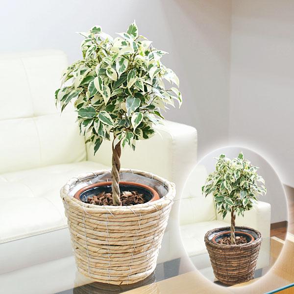 記念樹 結婚式 寒さに強い 送料無料 10号鉢 インテリア オリーブの木 ホワイトセラアート鉢 庭木 中型 大型 オリーブ 観葉植物 販売 鉢植え