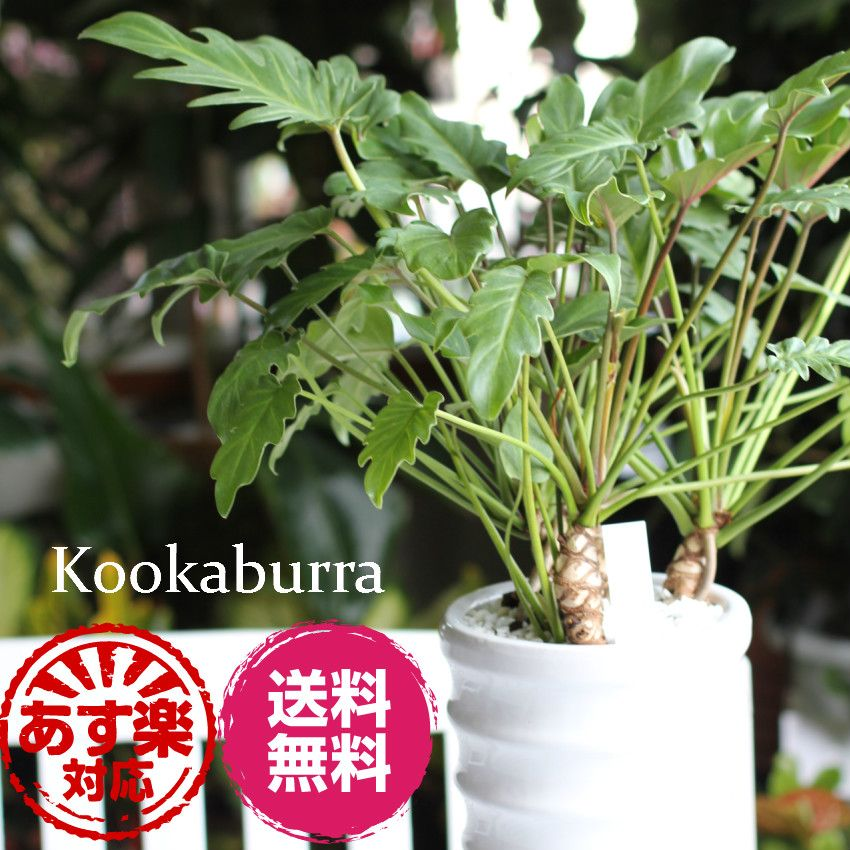 Kookaburra Foliage Birthday Presents Indoor Plants Celebrate Retirement Memorial Day Opening New Interior Green Flower Garden And DIY 10P28Sep16
