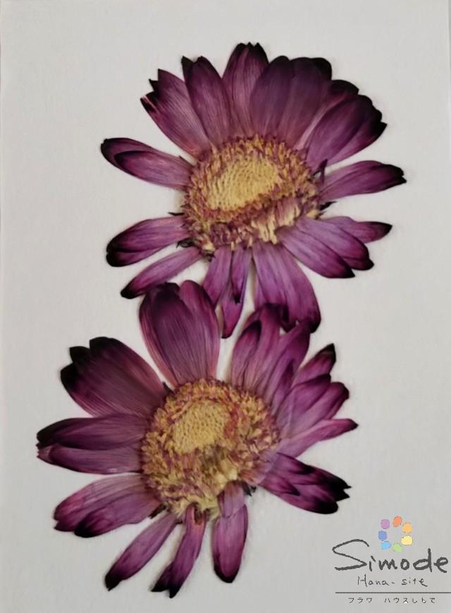 押し花 レジン アクセサリー スマホケース キャンドル 2020 アロマワックスバー サシェ ハーバリウム フォトフレーム 押し花額 キャンドルなどのハンドメイド 着色ガーベラ S-1000 飛騨のお花屋さんが手作りしました DIY素材に 売れ筋ランキング 2枚ハーバリウム 赤紫 安心安全の国産素材です ウエルカムボードなどハンドメイド素材として