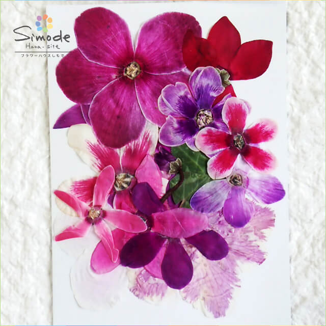 人気海外一番 鮮やかなピンクの花が魅力的な押し花素材 お得なミックスパック S-635 お気にいる 押し花 シクラメンミックス10枚入り飛騨のお花屋さんが手作りしています 安心安全の国産品質です