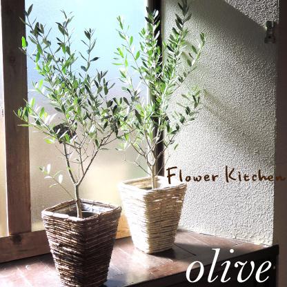 r オリーブの木 ネバディロブロンコ 【現品4種】 《シンボルツリーに最適なオリーブの苗木、庭木や鉢植えとして人気》 1.0m スタンダードタイプ