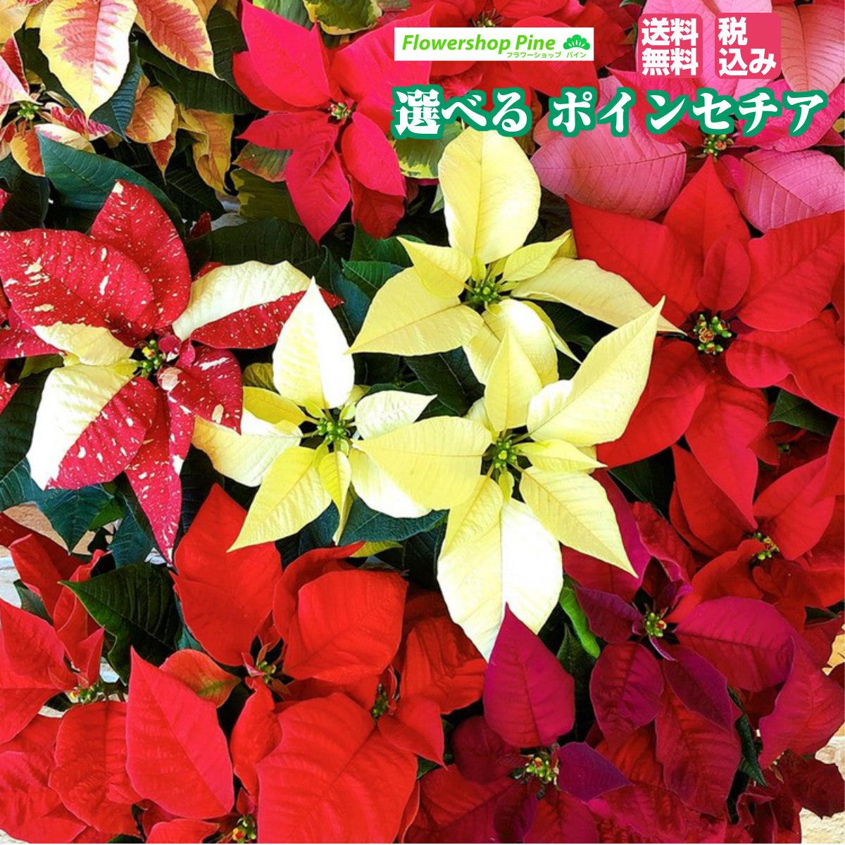 冬の代名詞 ポインセチアクリスマスにはもちろん お歳暮など冬の贈り物として贈ってみてはいかがですか? 選べる4色 ポインセチア プリンセチア 早割 予約 2021 予約販売 予約商品 宅配 花 鉢 ギフト プレゼント 生花 本日の目玉 クリスマス花 クリスマス花ポインセチア 鉢植え 贈る クリスマスフラワー 送料無料 室内 無料 お歳暮 を 送料 クリスマス 業界No.1 冬 鉢物