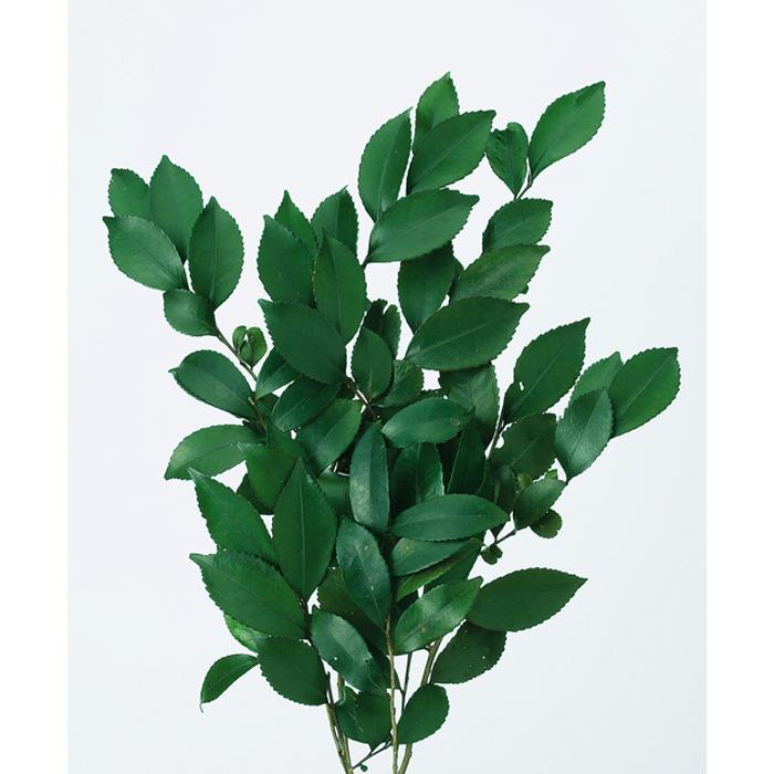 超特価 大地農園 ヒサカキ グリーン 1束 00280-700 プリザーブド 店舗 セール大特価