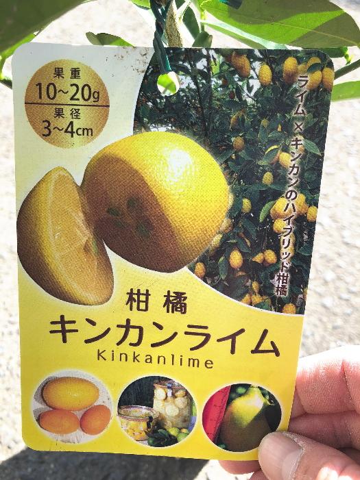 簡単栽培 ライム×キンカンのハイブリット柑橘です 手数料無料 柑橘 キンカンライム 5号ポットキーライムとキンカンの交配種 小ぶりですが多汁で酸味が強く コンパクトな樹勢と耐寒力で鉢植えで手軽に栽培できます 激安通販専門店 若木のうちから収穫可能 5号ポット 苦みはマイルドな風味です