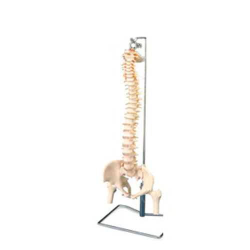 【人体模型】大腿骨付脊髄帯神経整体模型脊柱可動タイプ!【smtb-s】