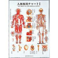 人体解剖チャートI(SR-111)