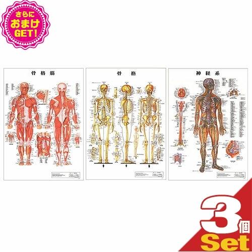 【さらに選べるおまけ付き】【検査】医道の日本社 人体解剖学チャート ポスター 選べる3枚セット パネルなし - 米国AC(アナトミカルチャート)社製の人体解剖図は、海外でも広く使用されている信頼のブランドです。【smtb-s】