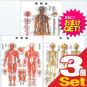 【さらに選べるおまけ付き】【検査】医道の日本社 人体解剖学チャート骨格筋 ポスター 3枚セット(骨格筋・骨格・神経図) パネルなし - 縦86×横62cm 表面仕上げはラミネート加工。【smtb-s】